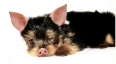 ein kleiner schweinehund